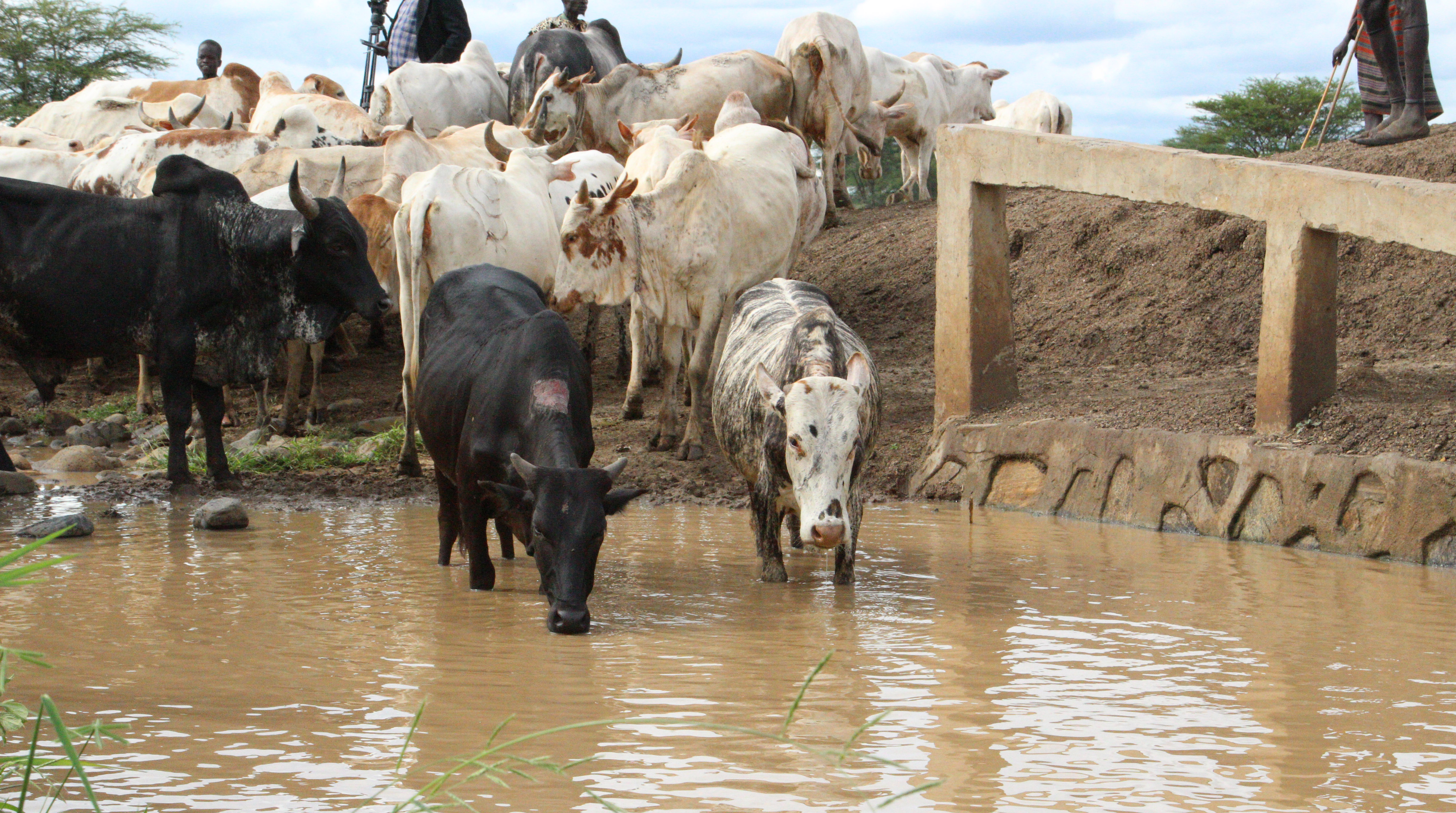 Cattle walking in a body of water.