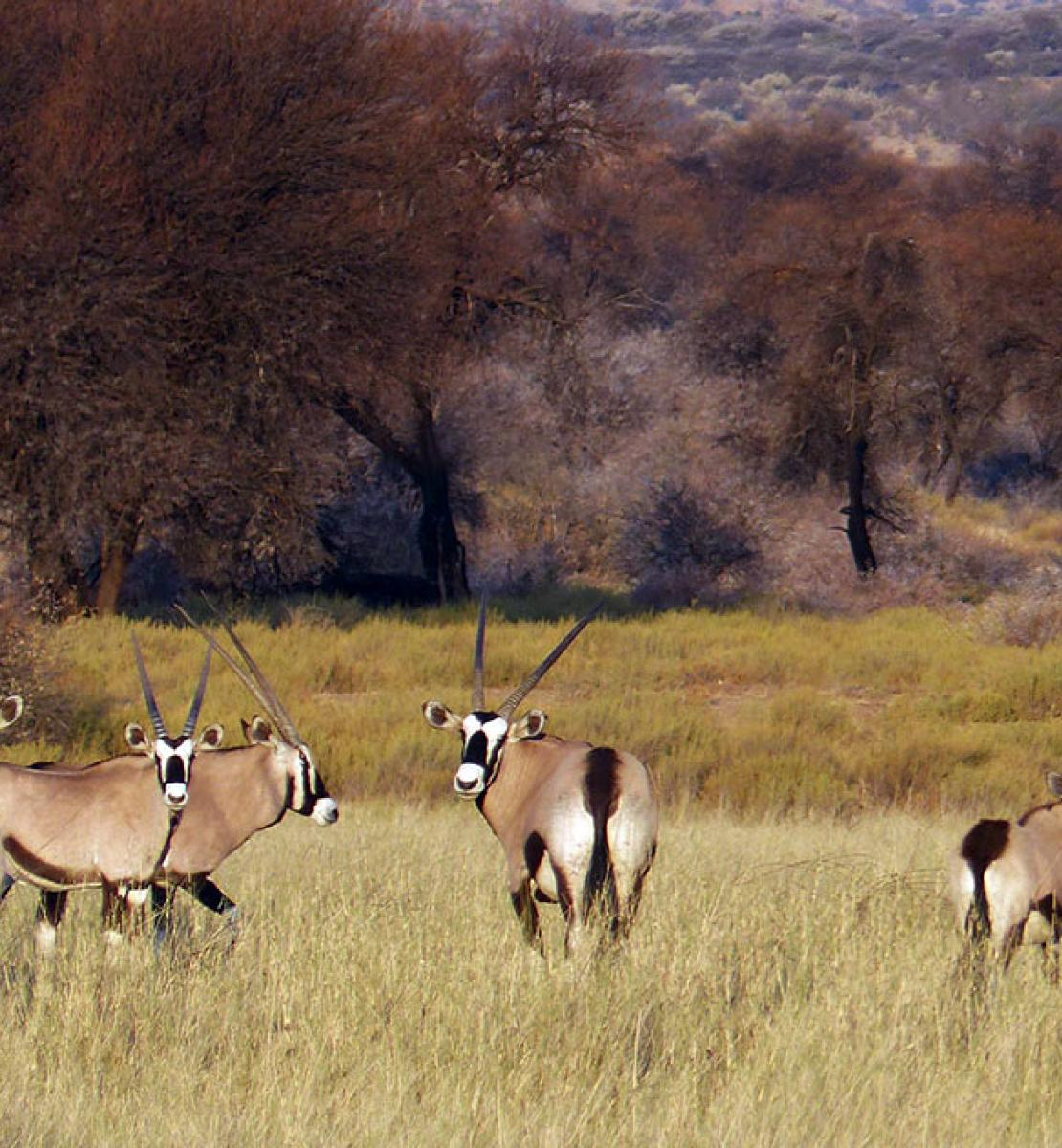 Six Gemsbok stand in a field at a conservancy in Namibia.