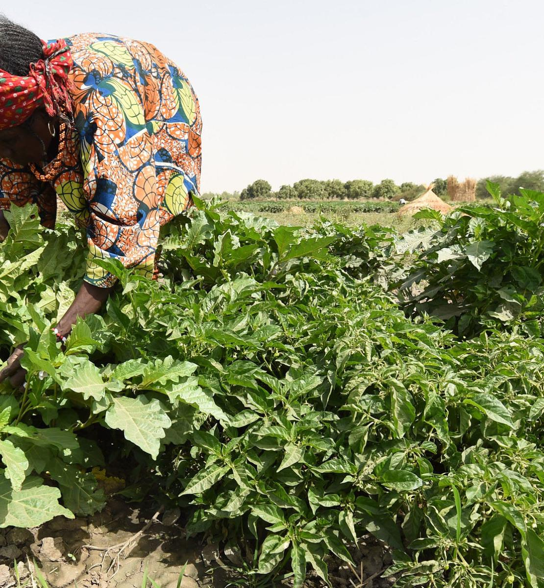 A farmer works in his pepper farm that is among FAO supported farm project.