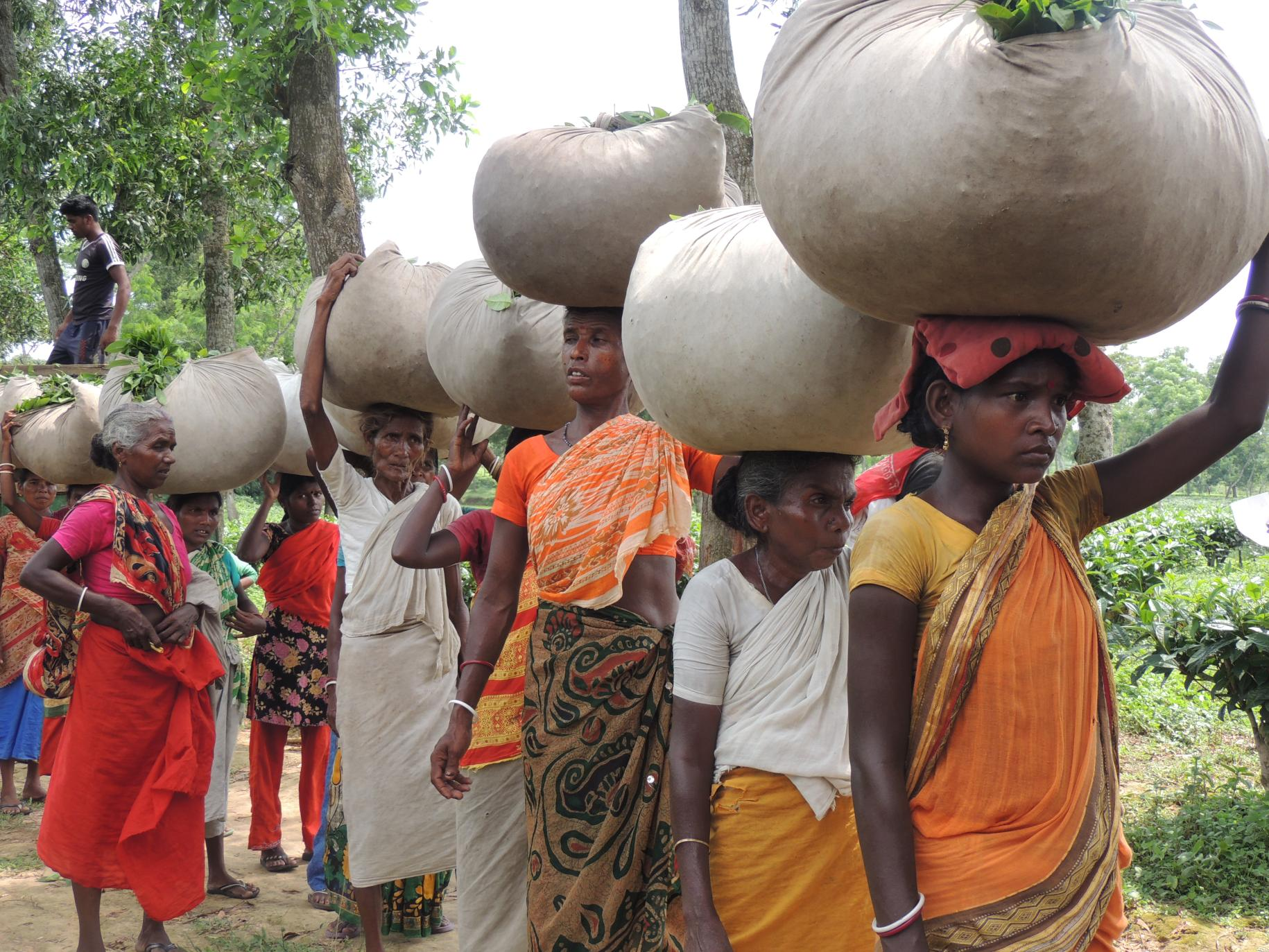 A line of women and girls hold large bags of tea on their heads.
